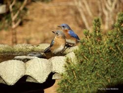 Eastern Bluebirds on Bird Bath